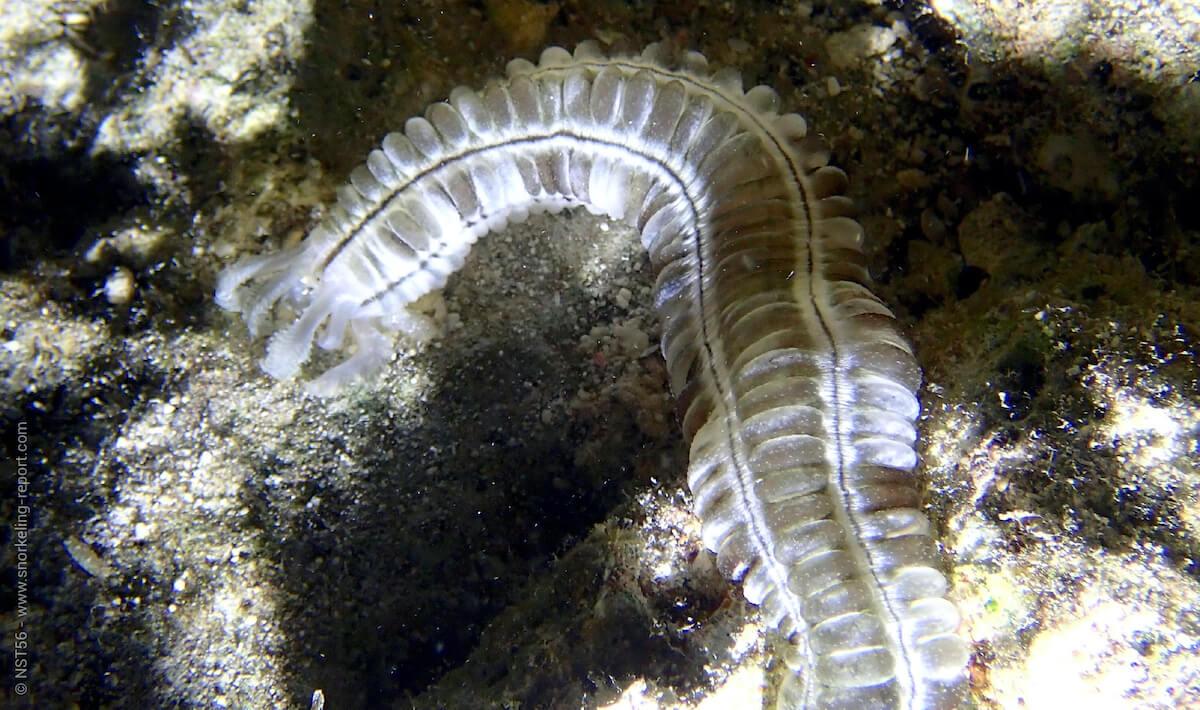 Sticky snake sea cucumber