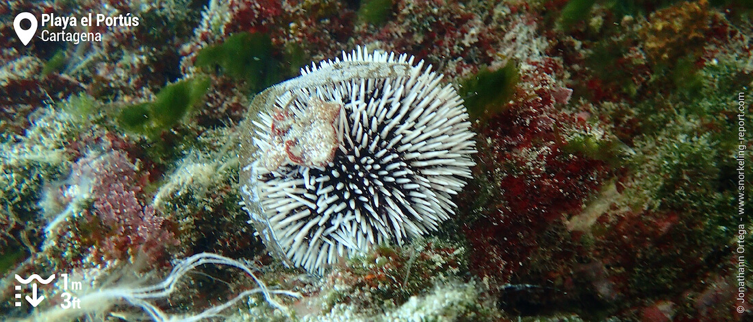 Violet sea urchin at Playa El Portús