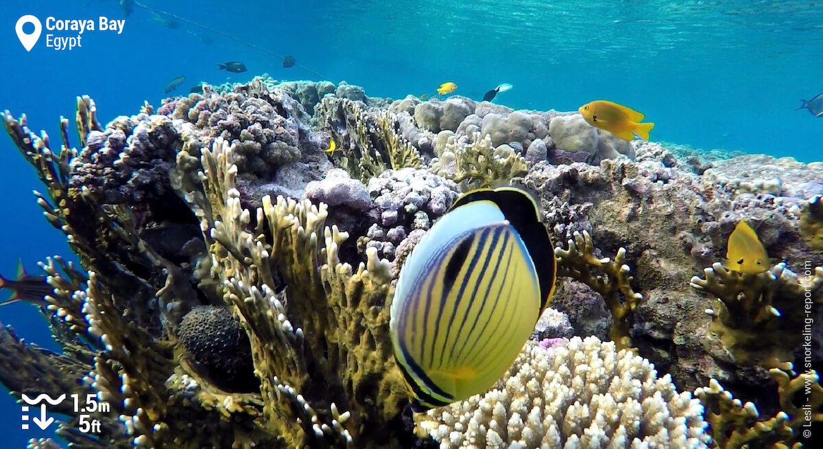Black tailed butterflyfish in Marsa Alam