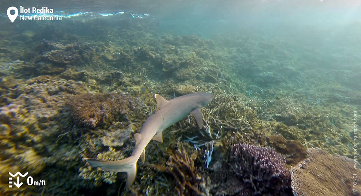 Whitetip reef shark in New Caledonia