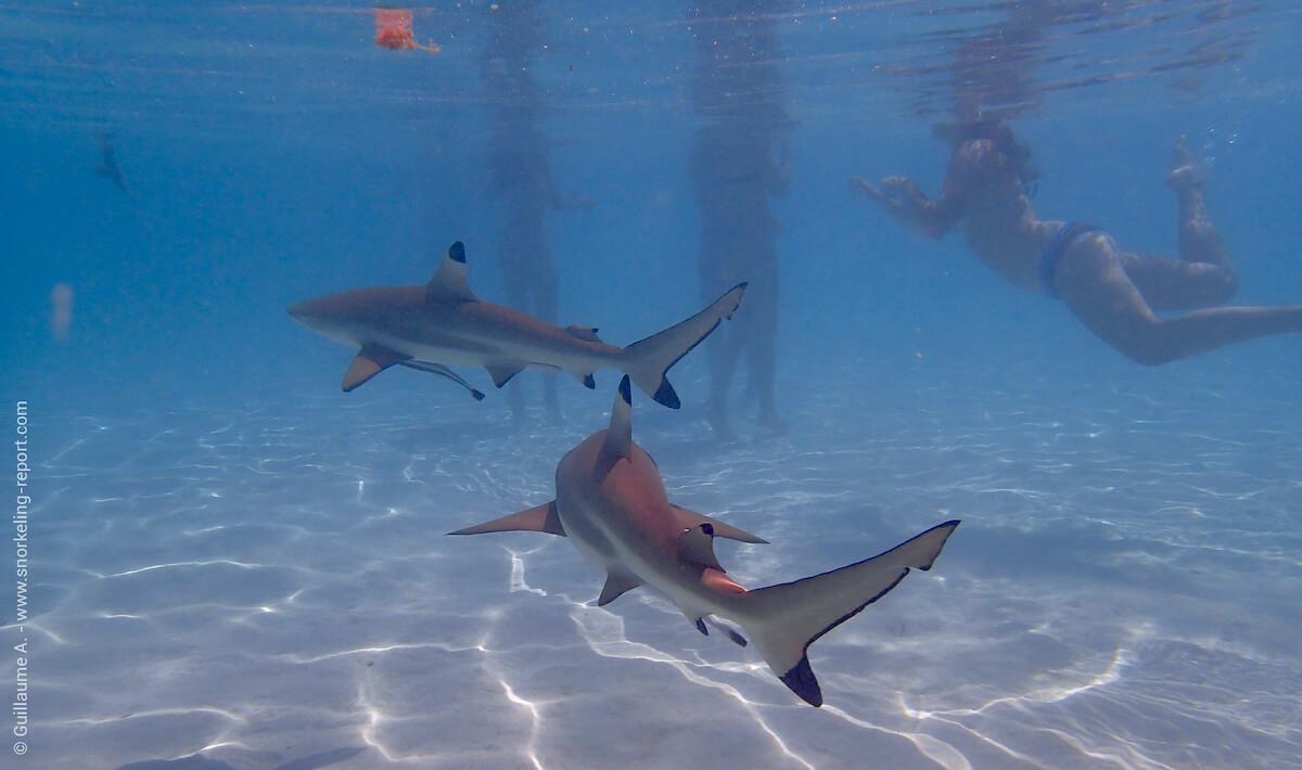 Blacktip reef sharks in Moorea