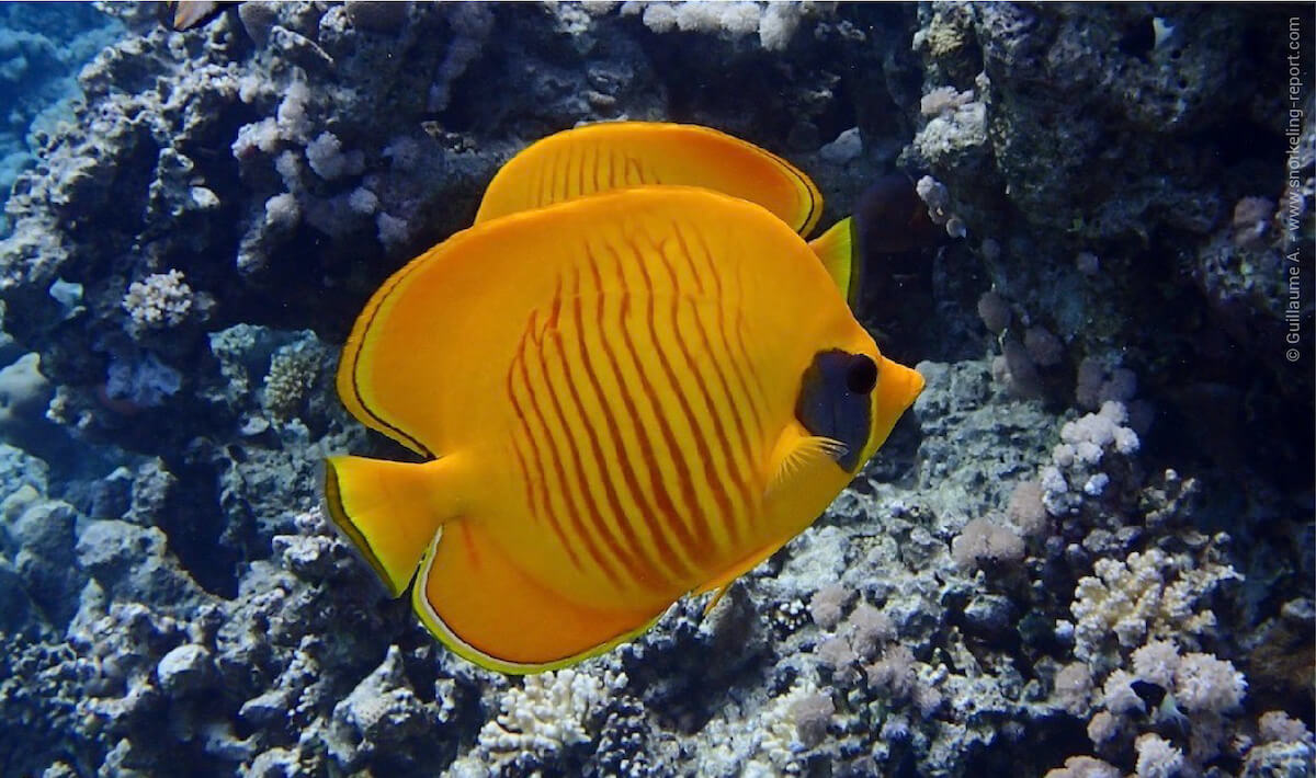 Bluecheek butterflyfish in the Red Sea