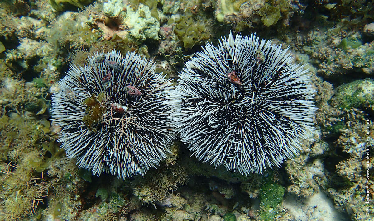 Caribbean white sea urchin
