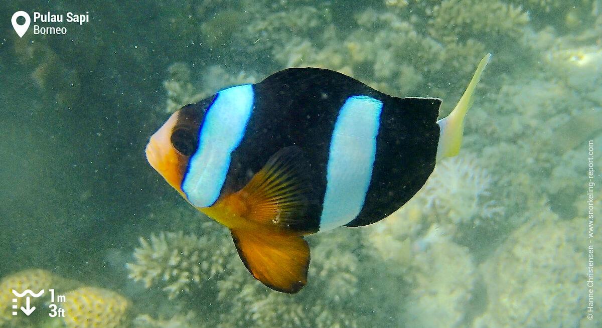 Clark's anemonefish in Pulau Sapi