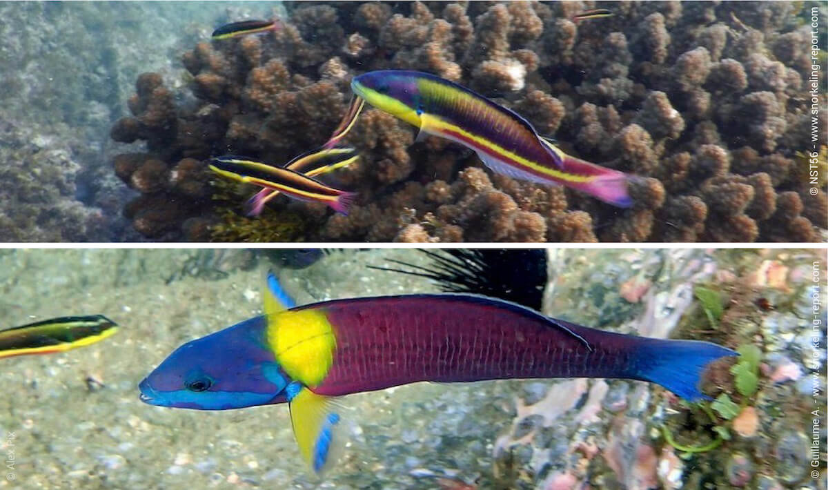 Cortez rainbow wrasse changes between initial and terminal phase