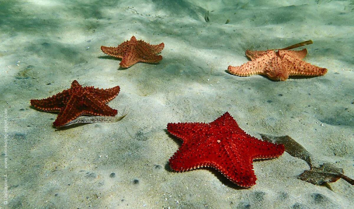 Cushion sea stars on a sandy bed