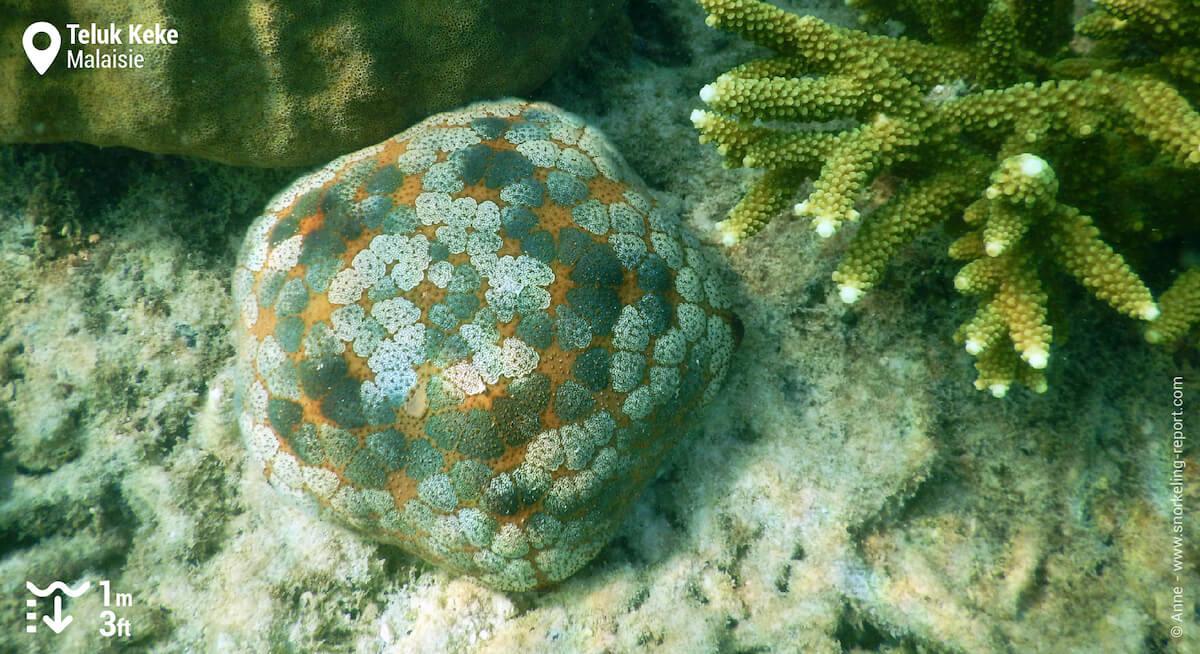 Etoile de mer coussin du Pacifique aux Îles Perhentian