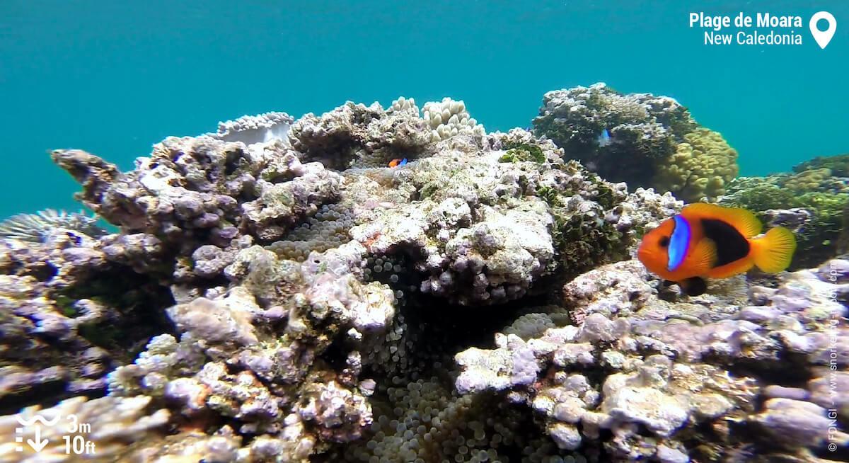 Fire clownfish at Moara Beach
