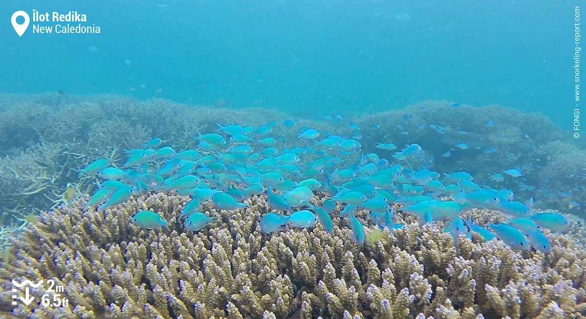 Group of green chromis swimming above coral
