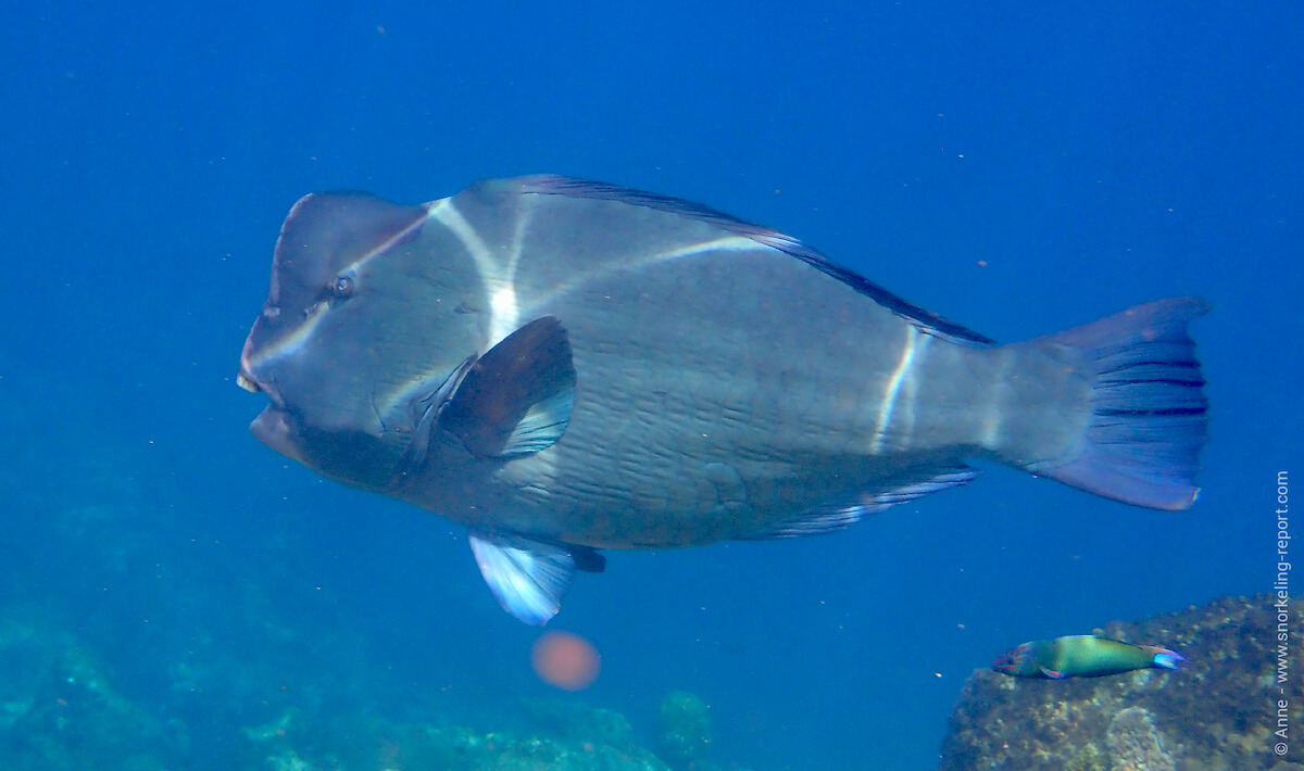 Green humphead parrotifsh
