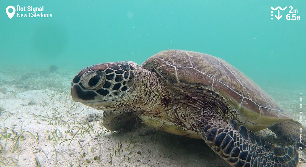 Green sea turtle on Signal Island seagrass beds