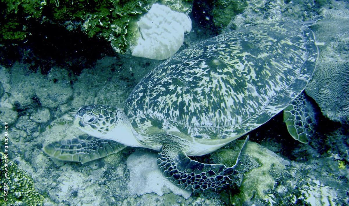 Green sea turtle in Kenya