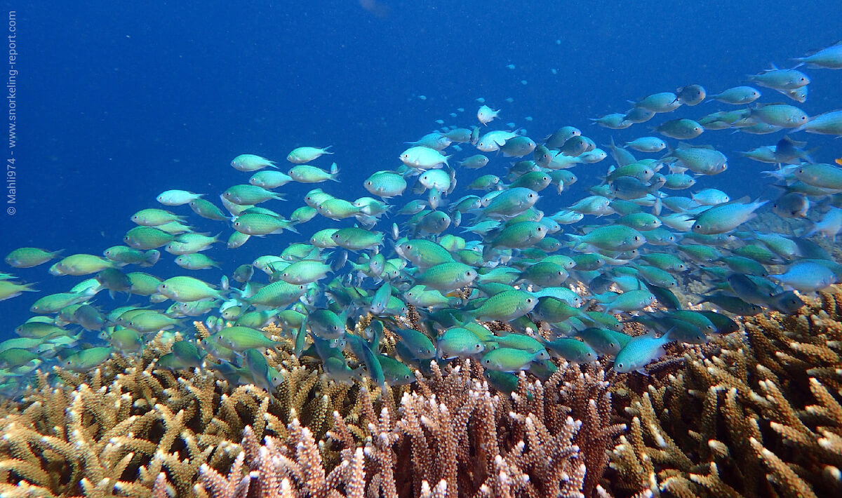 A group of green chomis around branching coral