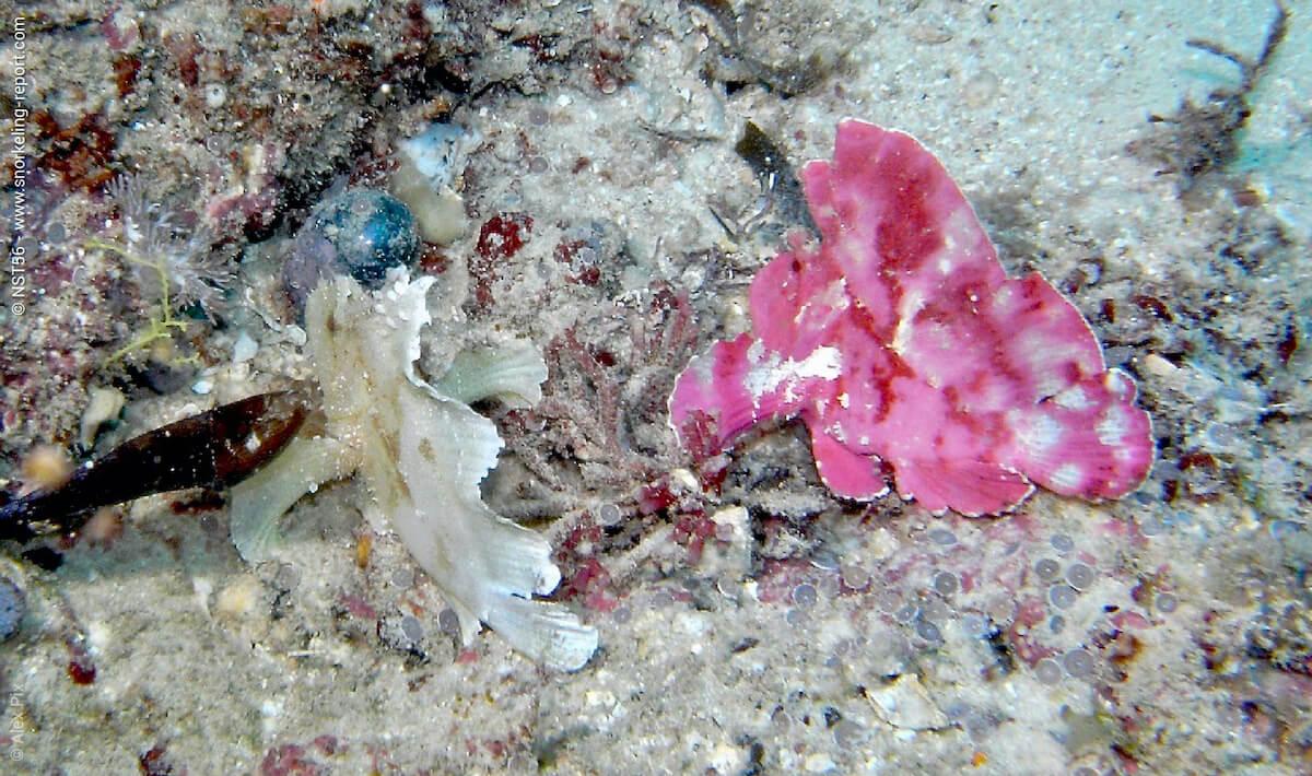 Leaf scorpionfish in Kenya