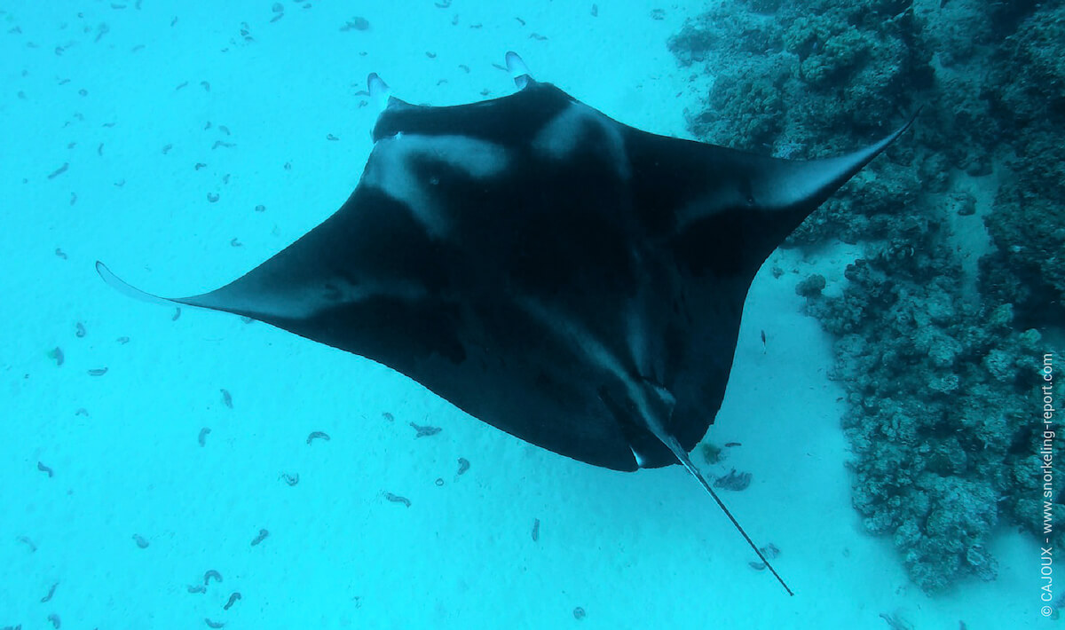 A manta ray at a cleaning station in the Tuamotu Islands