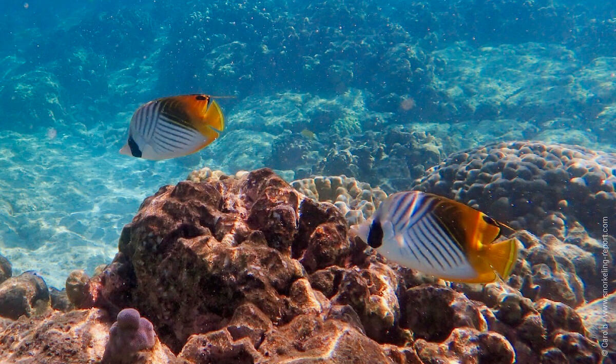 Threadfin butterflyfish in Hawaii