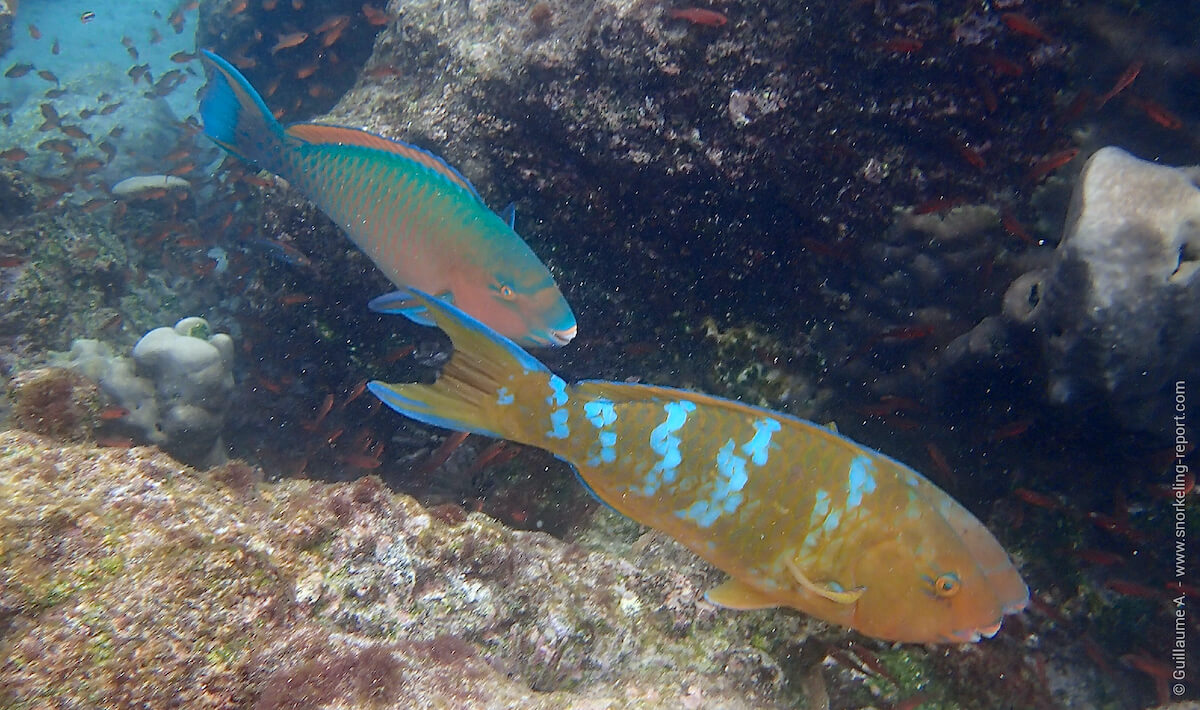 Difference between initial and terminal phase of parrotfish