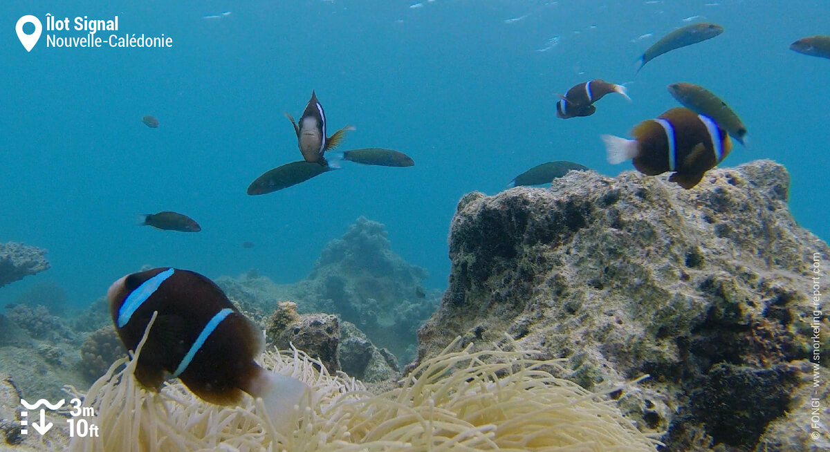 Des poissons-clowns de la Grand Barrière à l'Îlot Signal
