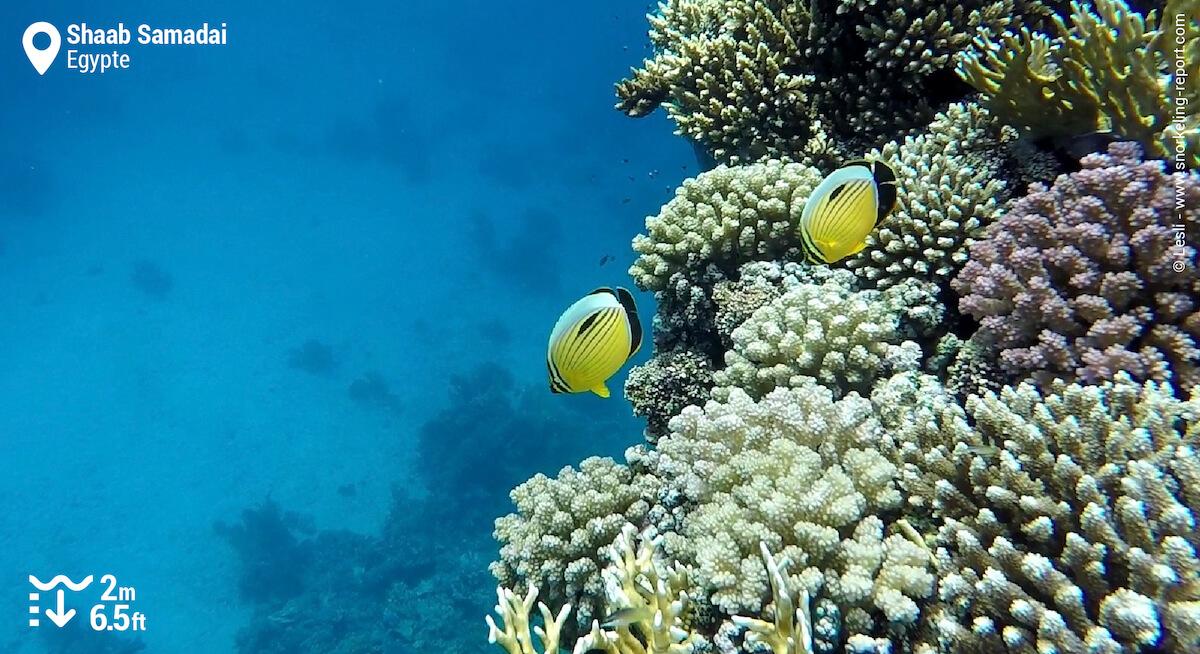 Récif corallien et poissons-papillons côtelés à Shaab Samadai