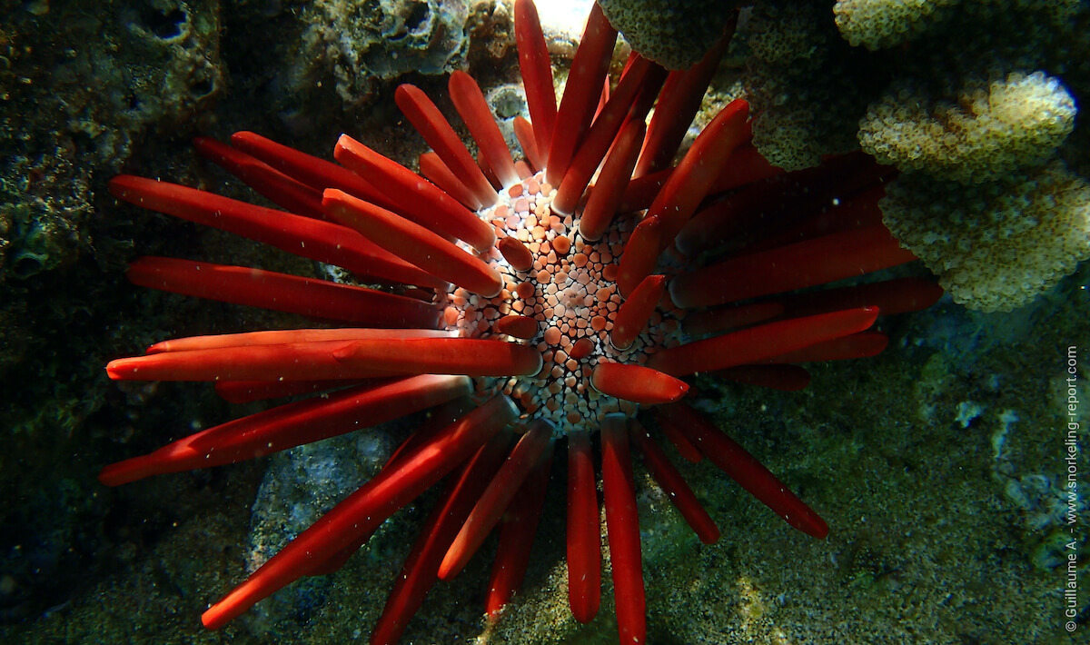 Red pencil urchin in Hawaii