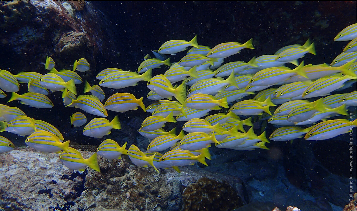 Bengal snappers shoaling at Coco Island, Seychelles