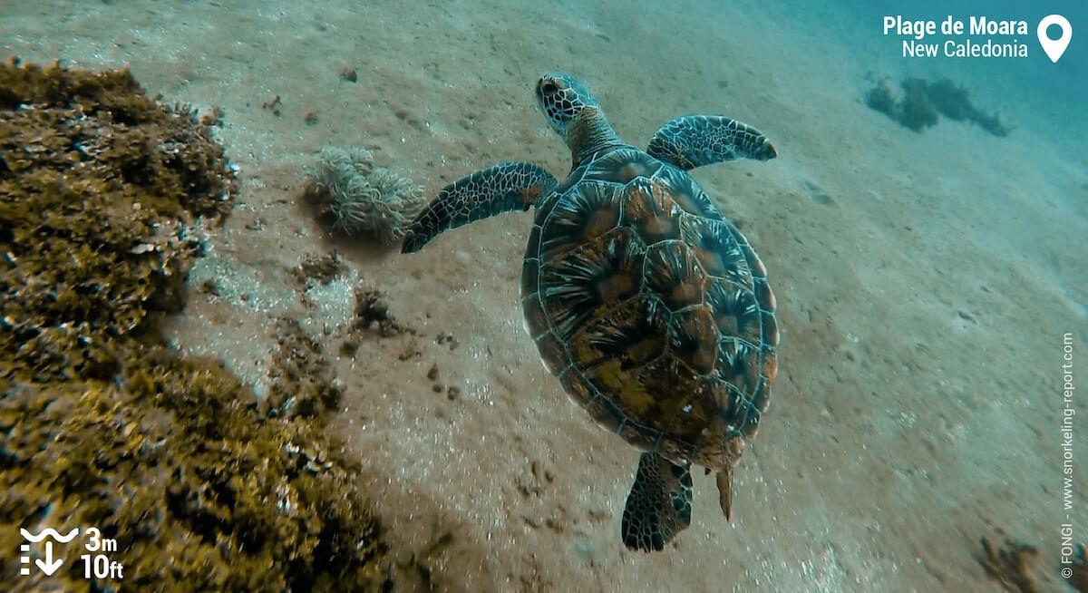 Green sea turtle at reef