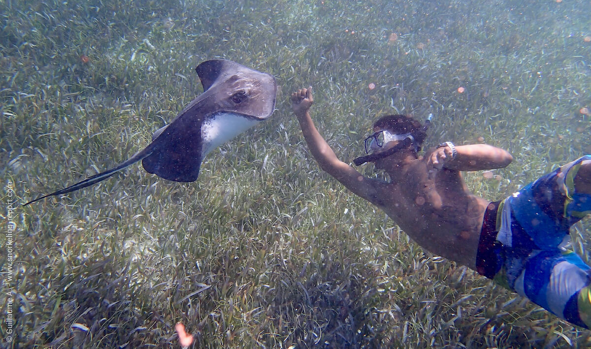 A snorkeler interacts with a Southern stingray in Belize