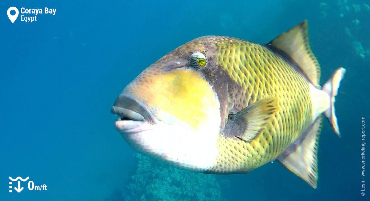Titan triggerfish in Coraya Bay