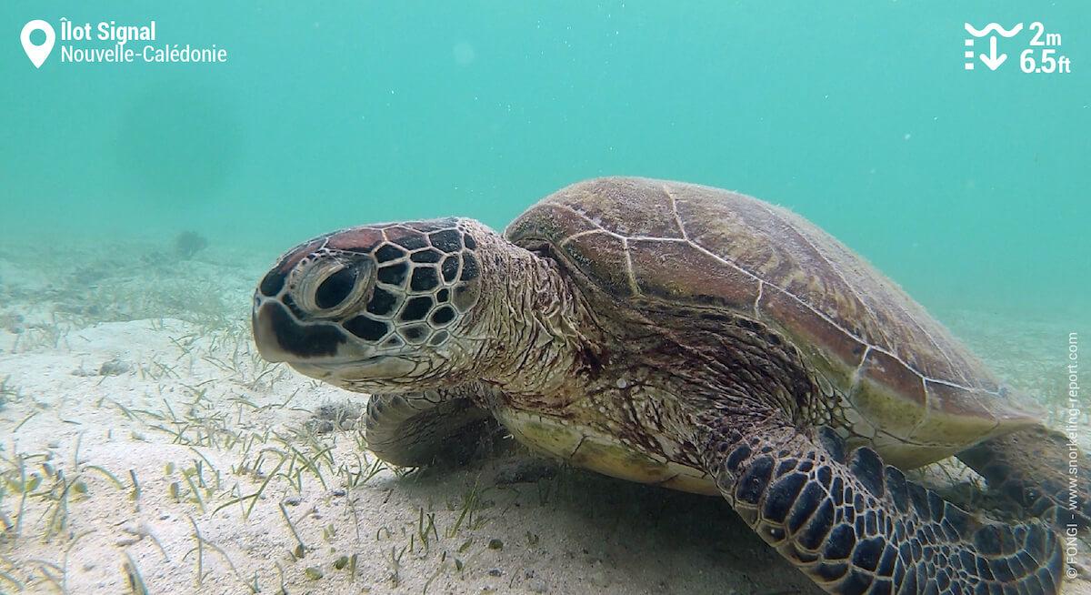 Une tortue verte dans les herbiers marins de l'Îlot Signal