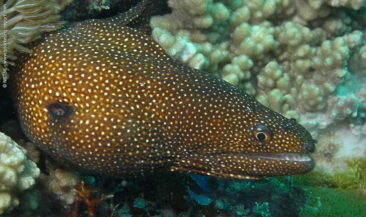 Turkey moray eel in Kenya