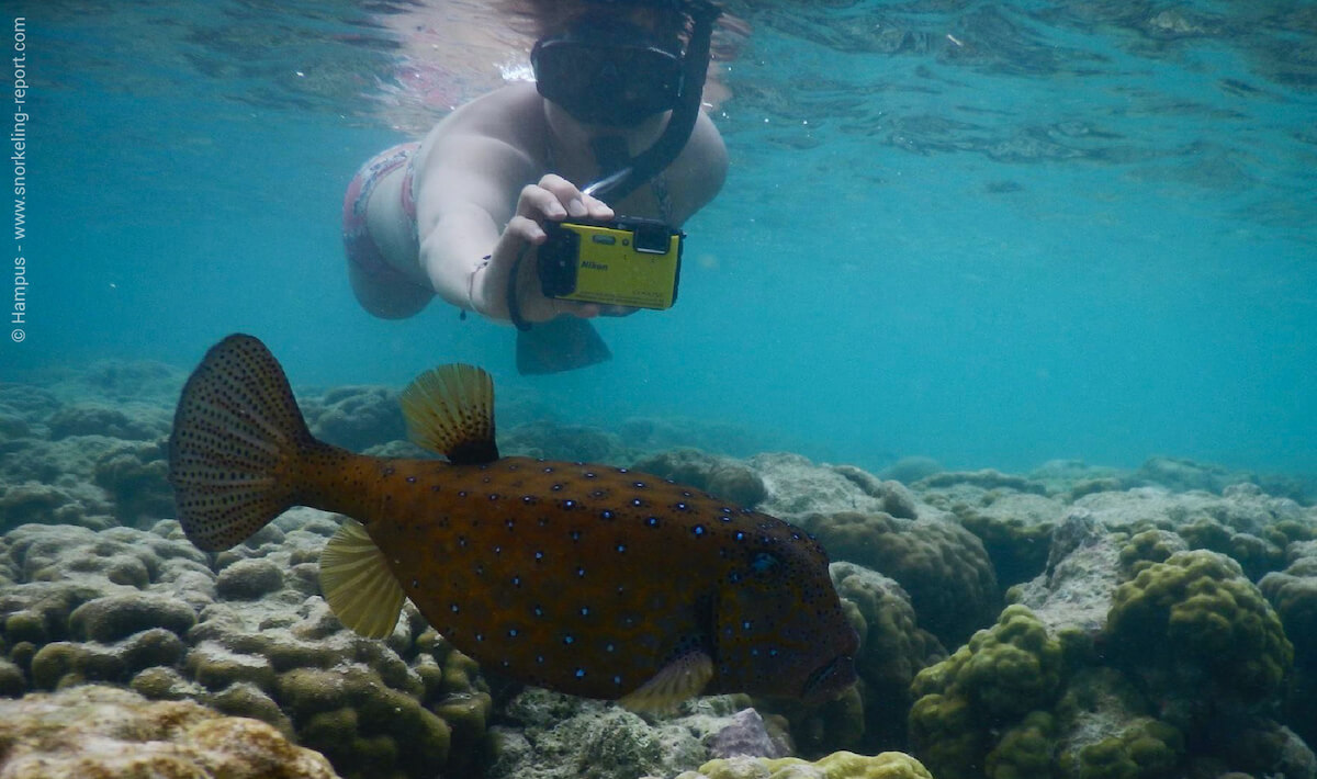 A snorkeler takes a picture of a yellow boxfish in Maldives