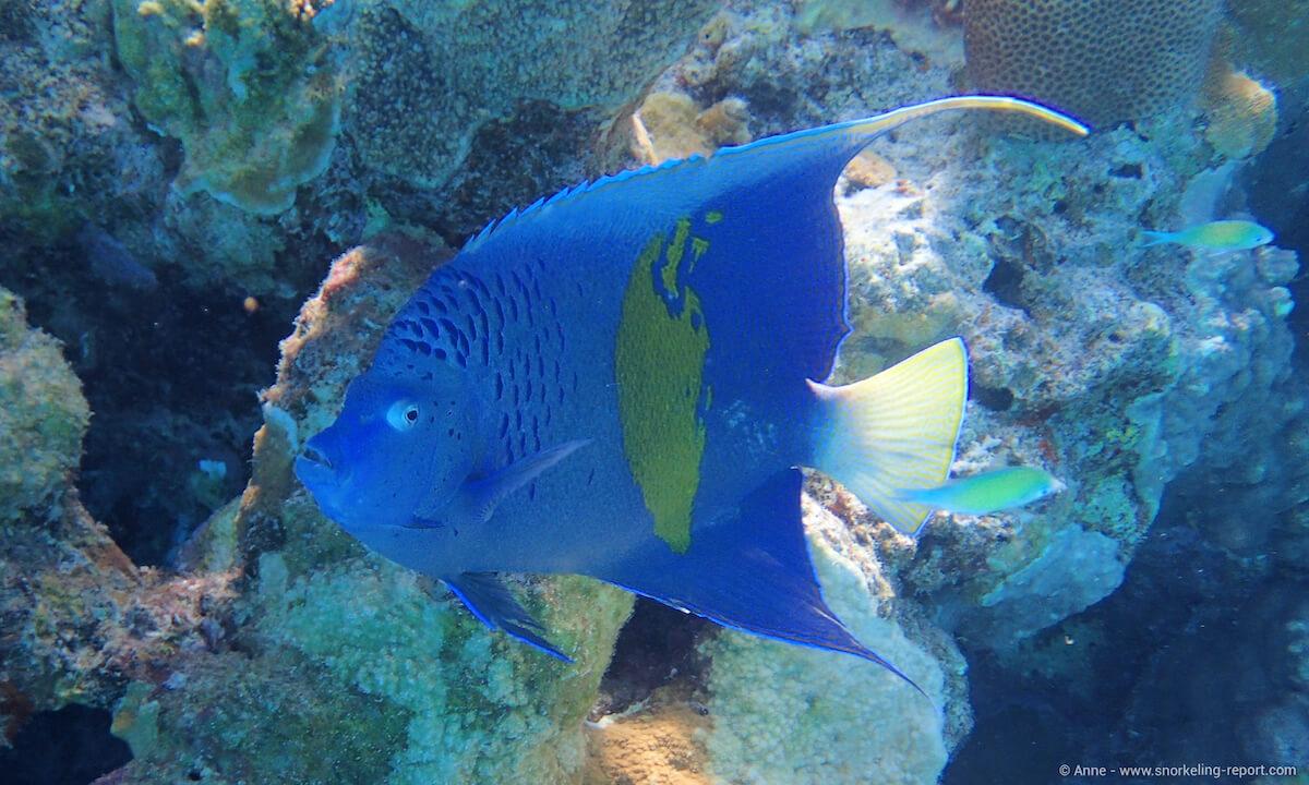 Arabian angelfish at Ras Um Sid
