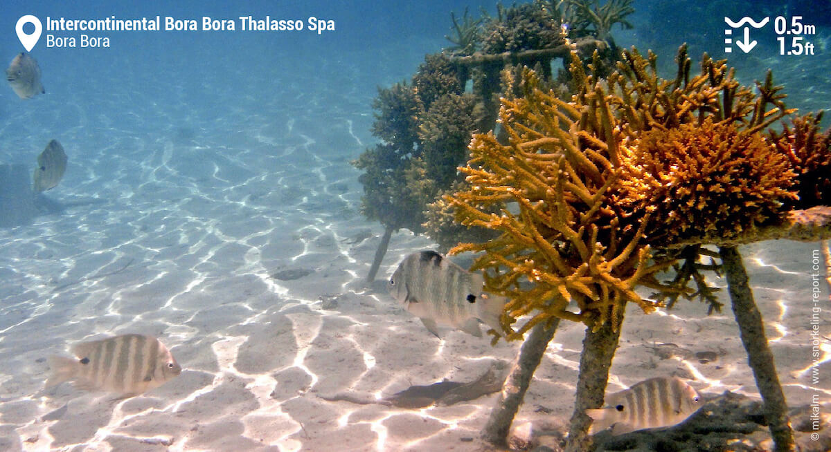 Coral cuttings in Intercontinental Bora Bora lagoon