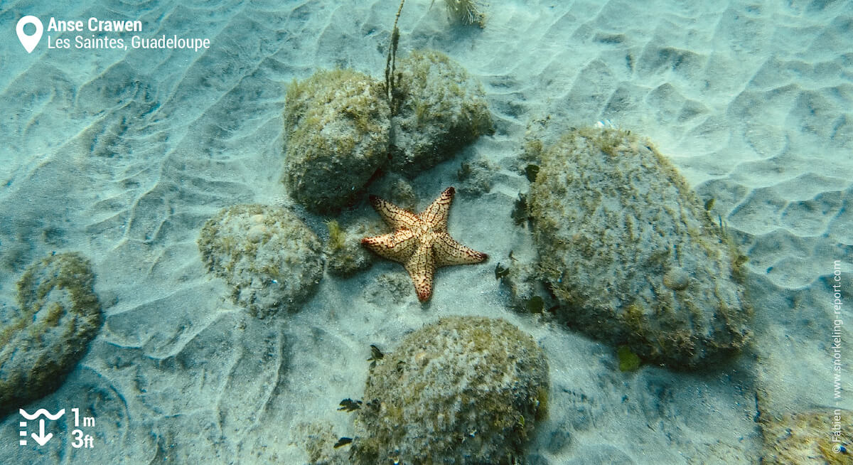 Cushion sea star at Anse Crawen
