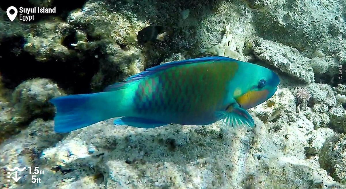 Daisy parrotfish at Suyul Island