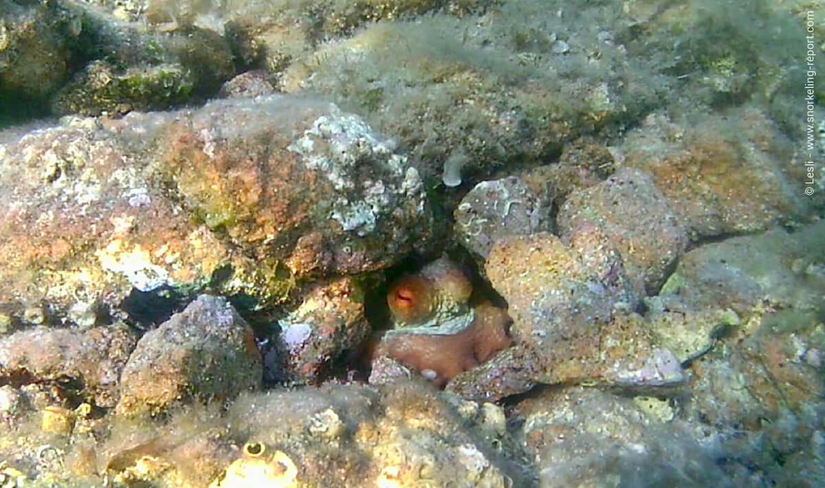 Octopus hiding between rocks