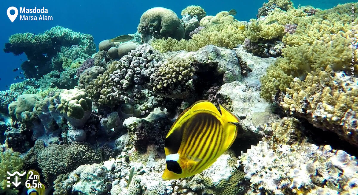 Red Sea raccoon butterflyfish at Masdoda