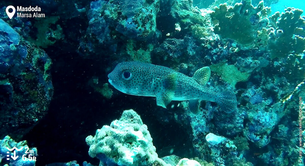 Spot-fin porcupinefish at Masdoda