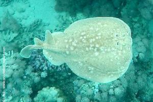 Torpedo panthera