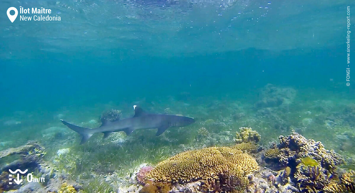 Whitetip reef shark at Ilot Maitre