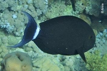 Acanthurus gahhm