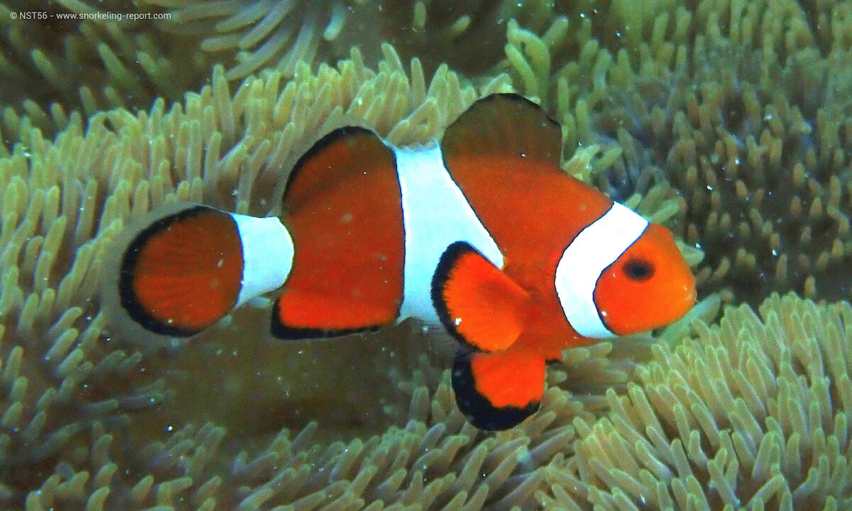 Ocellaris clownfish in Wakatobi