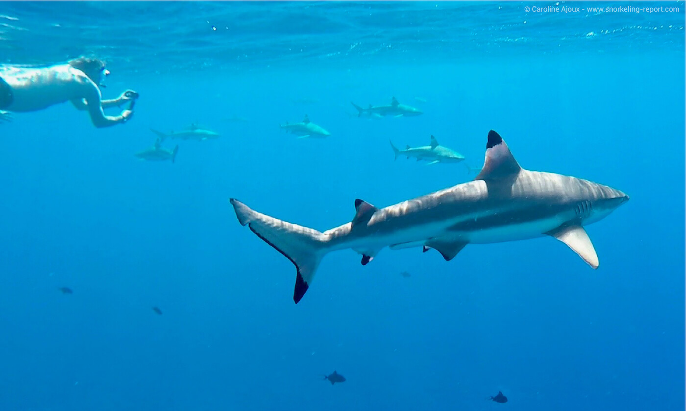 A snorkeler takes a picture odf a blacktip reef shark in Bora Bora