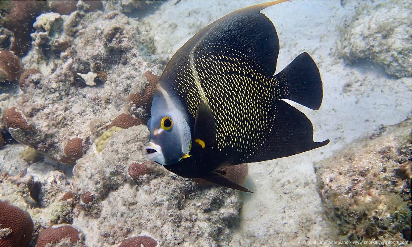 French angelfish in Boca Catalina