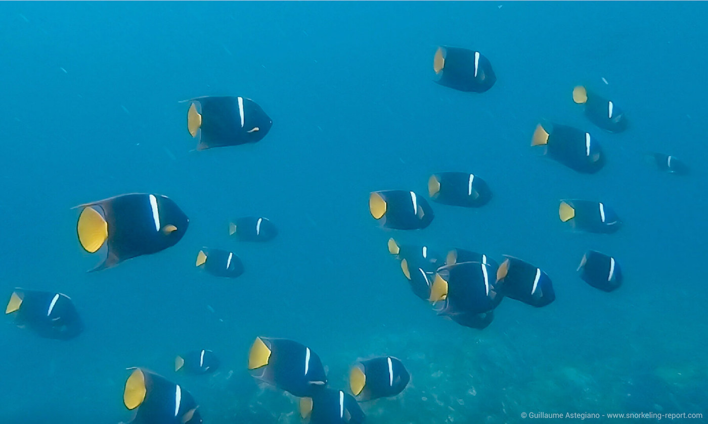School of king angelfish in the Galapagos Islands