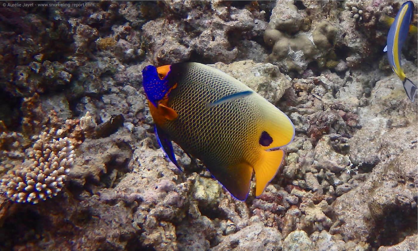 Blueface angelfish in Velidhu