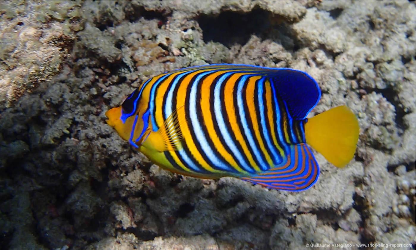 Regal angelfish in Mayotte