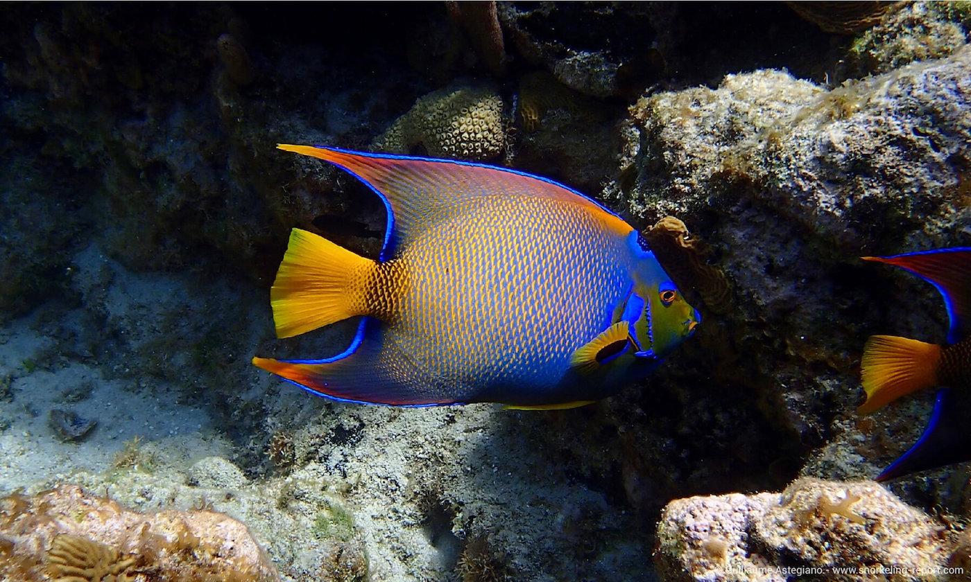Queen angelfish in West Bay
