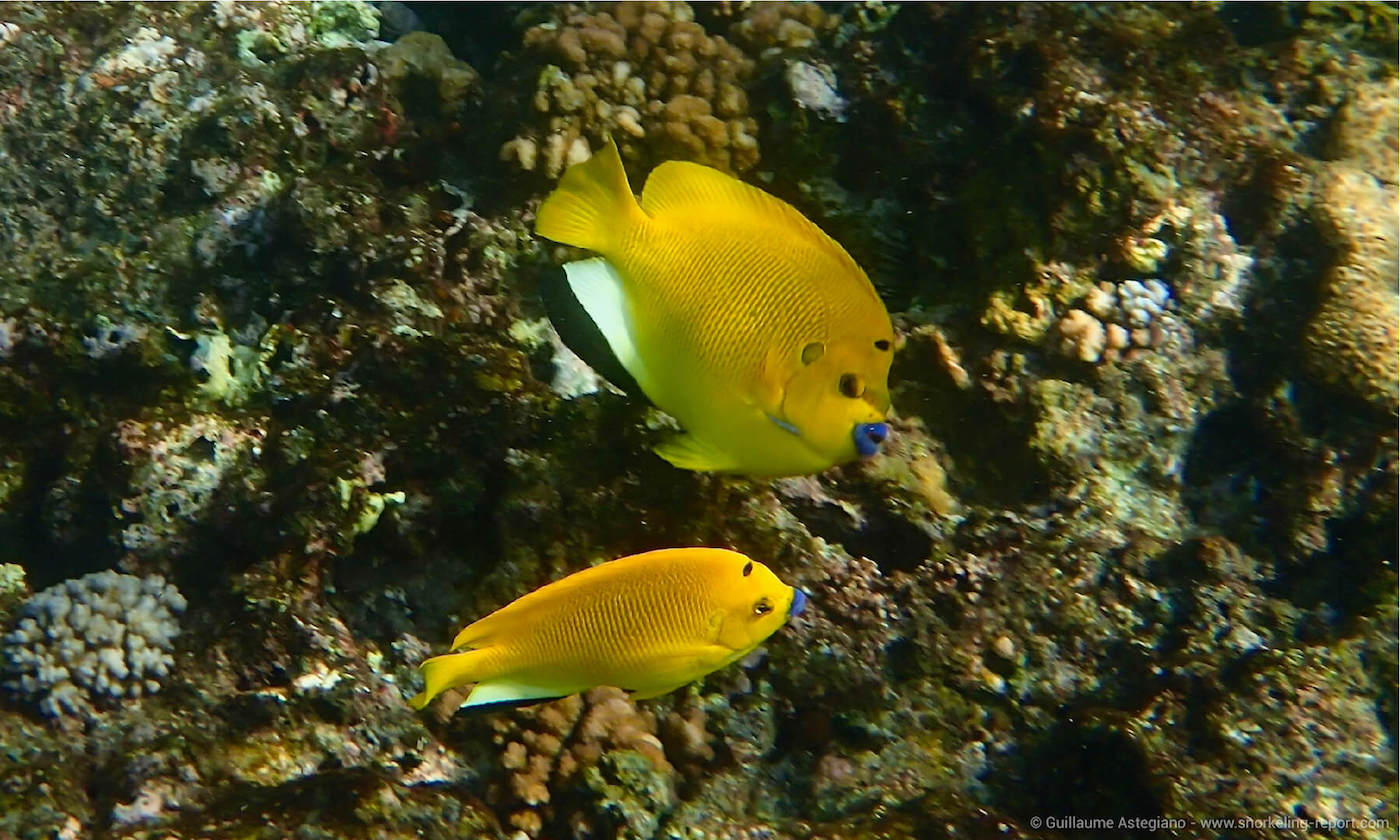 Angelfish in Baie Lazare