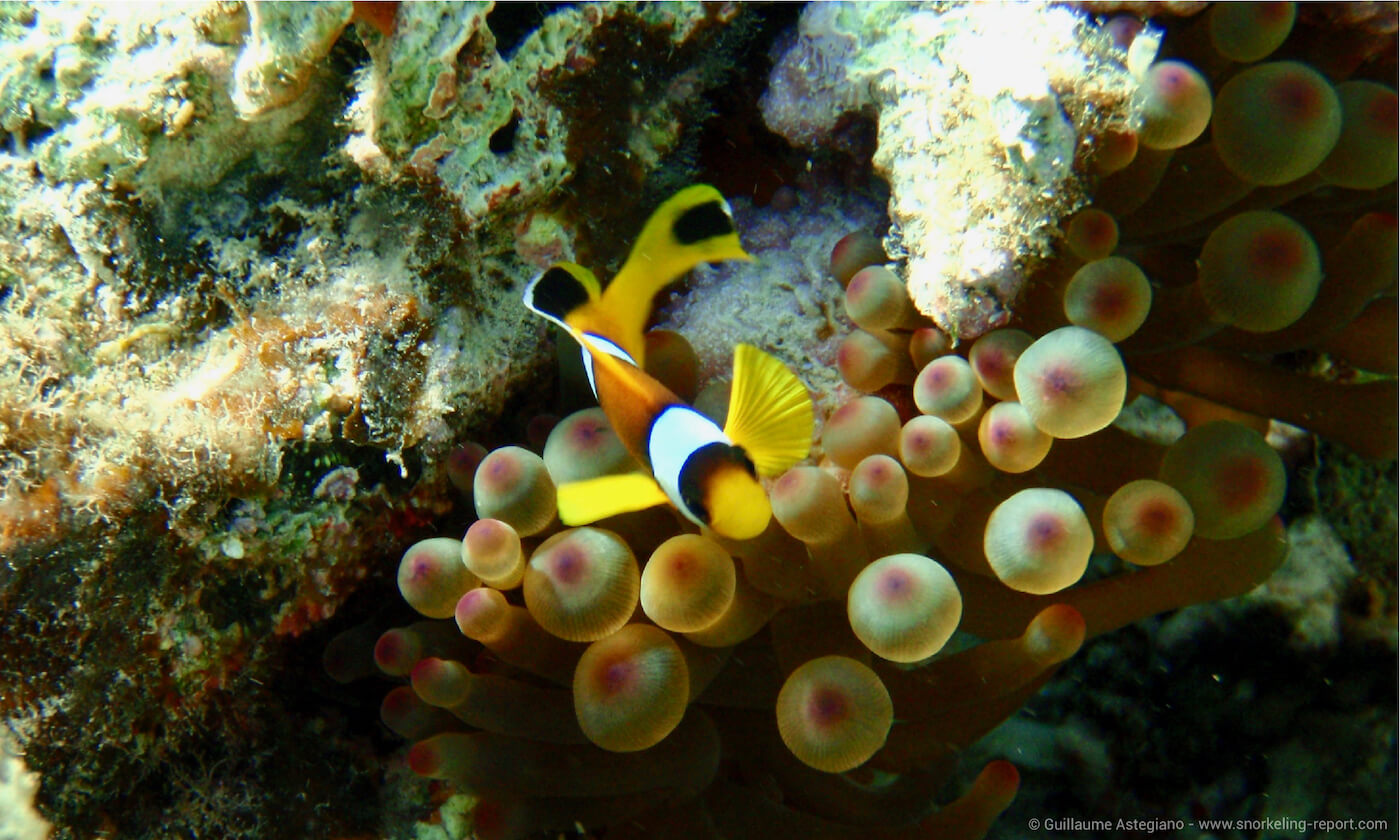 Red Sea clownfish in Aqaba